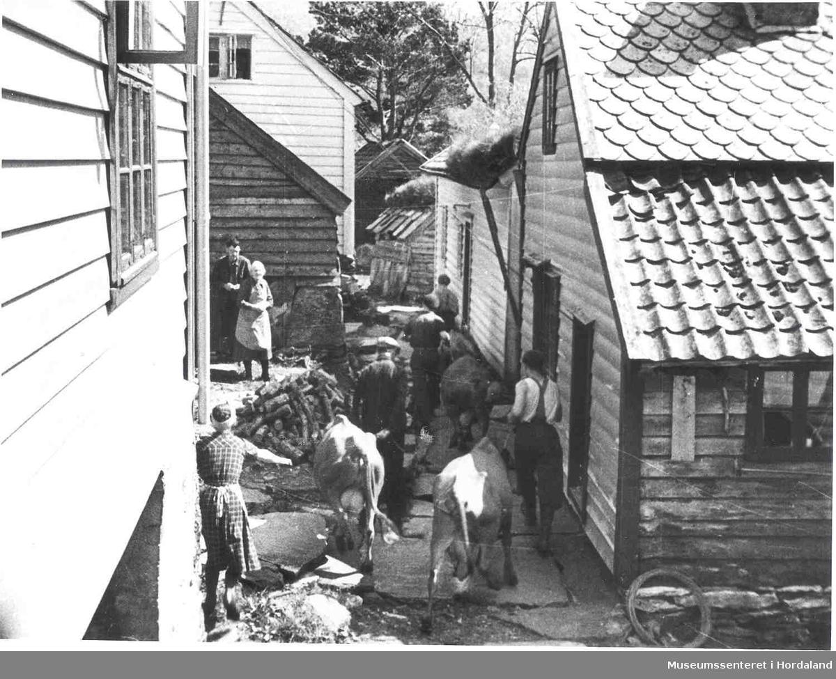 Havrå.Vårløysing av kyr i Klyngjetun, hellelagd gate, folk, kyr, vedkubbar, uthus, furutre i bakgrunnen, torvtak, skifertak, takpanner. (Foto/Photo)