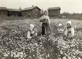 Små flickor plockar blommor på ängen. Leksand, Dalarna.