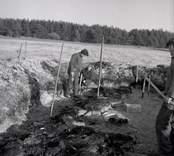 Antikvarie Ulf Erik Hagberg vid en arkeologisk undersökning i Störlinge 11/4 1964.