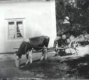 Ett humoristiskt arrangerat foto med en fågelskrämma som dras av en ko. Bilden är möjligen från Hvilan.