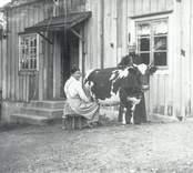 Från fotografen Karl Ludvig Berners hem.  På bildern ses Karin mjölka en ko.