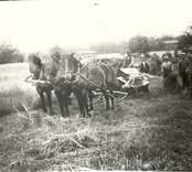 Slåtter med häst i Hjorted.