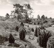 """Hällmark inåt ön. Under asparna """"barnkyrkogården""""."""