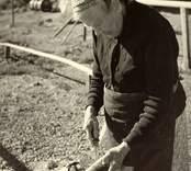 Änkefru Hulda Nilsson, moder till fyra fiskarbröder på platsen, rensar abborre för hushållet.
