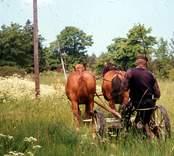 Slåtter med häst. Göte Karlsson kör hästen.