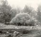 Foto:Osmin Jennes Blommande slån, Kyrkgärdet. Maj 1951.