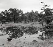Hällmark med tallar efter regn. Foto: 19/07 1952.