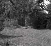 Ett träd i närheten av Norrby brunn, hälsobrunn.