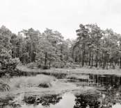 Tjärn med tallar och skvattram. Foto: 19/07 1952.