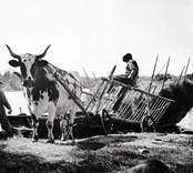 Omlastning. Höet, som forslats hem från slåttermarker på öar, lossas från en pråm och lastas på en oxvagn.