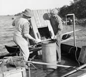 Fiskhandlare Johannes Olsson väger ål vid Liljegrens brygga.