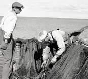 Martin Karlsson och Fritz Liljegren falar ihop armar till ett bottengarn. Foto: 05/07 1952.