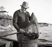 Fiskhandlare Johannes Olsson från Svartsjö. Ålarna vägas vid Liljegrens brygga. Foto: 15/07 1952.