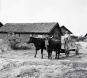 Albin Olsson kör med oxar.