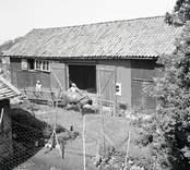 Hökörning med oxe på Älö. Foto: 21/07 1948.