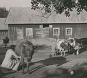 Korna mjölkas vanligen samtidigt, sedan de först förts in på gården.