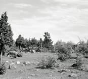 Kohagen med enbuskar på Vinö. Foto: 22/08 1951.