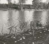 Fynd av rest av fiskeanläggning vid lågvatten i gölen 1959. Stil-Foto Nybro Gösta Sörensen