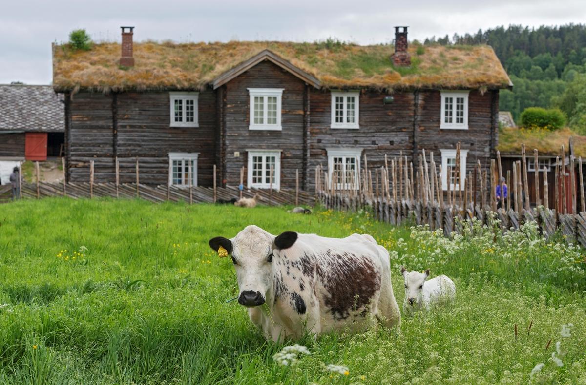 "Fra ""Fløttdagen"" på Dølmotunet 2016, Tolga, Hedmark. Musea i Nord-Østerdalen. Fløttdagen. Sesongåpning på Dølmotunet. Arrangement. Arrangementer. Sidet trønderfe og nordlandsfe, STN. Ku og kalv i eng. Fe. Storfe. Husdyr. Beite. Innmark. (Foto/Photo)"