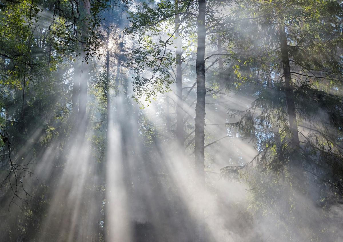 Tåke i blandingsskog av med bjørk, gran og furu som viktigste treslag.  Lyset mellom greinene treffer partikler i lufta som framstår som gråkvite stråler fra sola innover i skogen. (Foto/Photo)