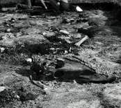 Skalle från häst funnen vid utgrävningarna av Skedemosse.