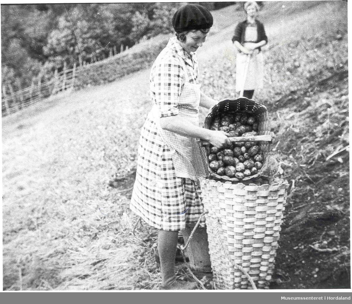 Havrå.To kvinner som tek opp poteter. Kipe. Brattbakke. Trehesjer med potetgras i bakgrunnen. Potetåker. Korg med poteter i.  (Foto/Photo)