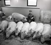 SCAN KLS, styrelsen  Boris Franzén och hans sovande grisar.