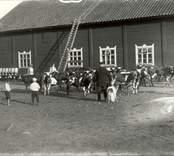 Från Björkhult 1915, kanske är det kalvar som ska släppas ut på bete på våren.