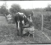 Lagårdspigan mjölkar kon 1935.