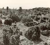 Hällmark med enbuskar vid Väderskär.