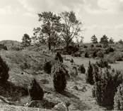Hällmark med enbuskar och asparna vid barnkyrkogården i Väderskär.