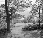 Rågåker i ekhage. Foto: 19/07 1952.
