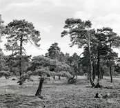 Tallhed på Runnö. Foto: 18/07 1952.