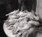 Interiör av sjöbod med saltad och torkad mört. Foto: 15/08 1951.