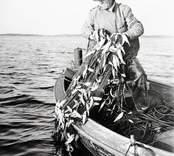 Rickard Wigsén tar upp strömmingsskötar. Foto:Nils J Nilsson 280/48.
