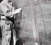 Karl Pettersson, 84 år, skeppare och fiskare, hänger flundregarn till tork. Foto:Nils J Nilsson 930/51