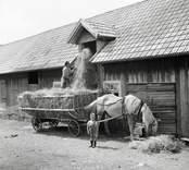 Hökörning. Herbert Karlsson sticker upp hö i ladan.
