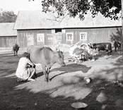 Korna mjölkas i Sörgården.
