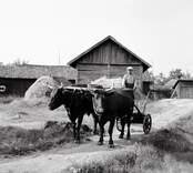 Dragoxar utanför ladugården. Foto: 28/07 1955.