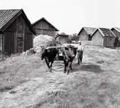 Albin Olsson kör med oxar utanför ladugården. Foto: 28/07 1955.