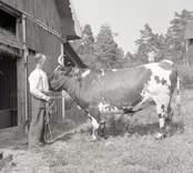 R. Wigséns oxe. Foto: 12/07 1948.