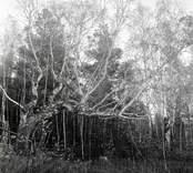 Skog med björkar i Västra Eknö.