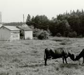 Lunds by från väster. Några kor på åkermark.