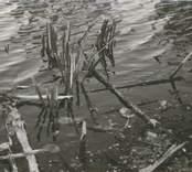Fiskegata, funnen sommaren 1959 vid lågvatten. Foto: Gösta Sörensen.
