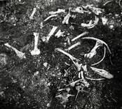 Foto från utgrävningen i Skedemosse. Benkoncentration.