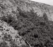 Lavvegetation på Blå Jungfrun. Svart lavvegetation krypande på klipphäll.