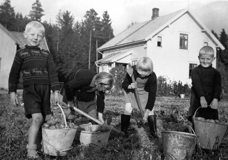 Potetopptaking. Fire barn med bøtter og potetgrev tar opp poteter. Fra venstre er Arne Holmen, Anne Hatterud, Astrid Holmen, Bjarne Hatterud. Stensli, Brumunddal. (Foto/Photo)