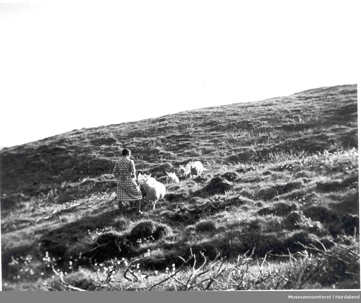 Havrå.Dame gjeter sauer på fjellet. Fjellbeite, himmelsyn, litt kratt i framgrunn. (Foto/Photo)